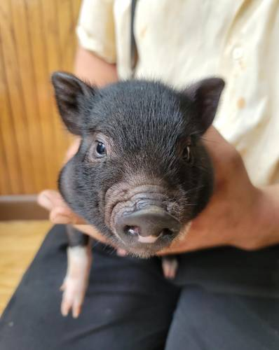 Charlotte - a 8 week old mini potbellied pig puppy in Bird In Hand, PA