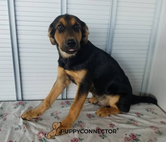 Dan - a 4 month old belgian malinios mix puppy in Kinsman, OH