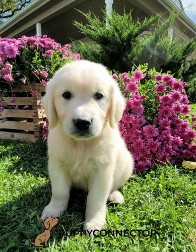 Lip - a 3 month old english cream retriever puppy in Lancaster, PA