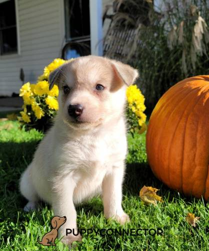 Louie - a 10 week old border collie mix puppy in Quarryville, PA