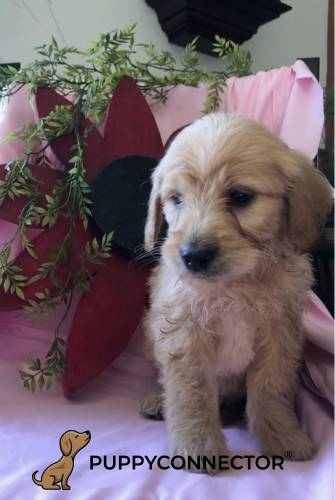 Alexander - a 7 week old mini goldendoodle puppy in Kirkwood, PA