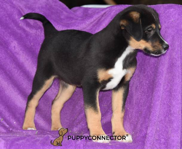 Apex - a 11 week old border collie mix puppy in Rebersbrg, PA