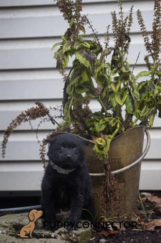 Gina - a 8 week old schipperke puppy in Gap, PA